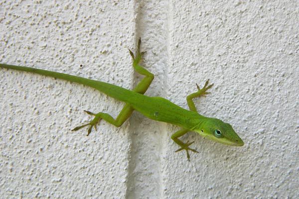 Florida Lizard